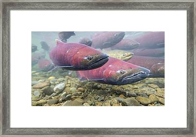 Dressed For Spawning Season Framed Print