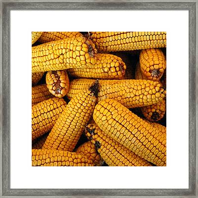 Dried Corn Cobs Framed Print