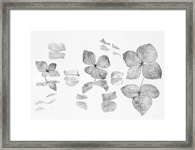 dried Hydrangea flowers Framed Print by Masako Metz