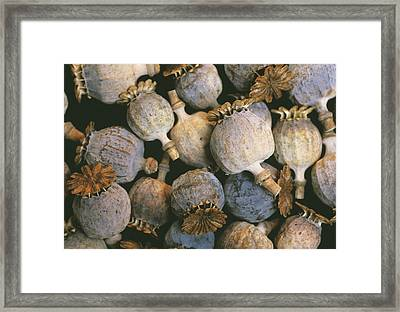 Dried Opium Poppies Framed Print