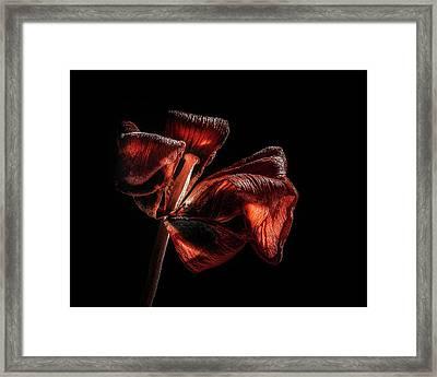 Dried Tulip Blossom Framed Print