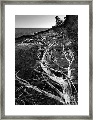 Driftwood Tree, La Verna Preserve, Bristol, Maine  -20999-30003 Framed Print