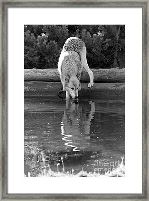 Drinking At The Edge - Black And White Framed Print