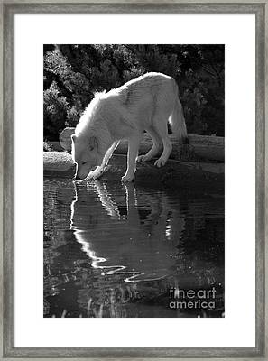 Drinking From The Pond- Black And White Framed Print