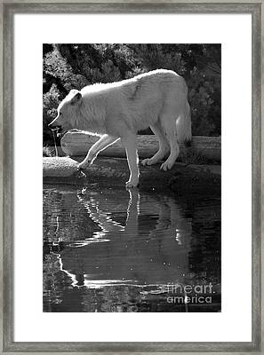 Grey Wolf Reflections - Black And White Framed Print