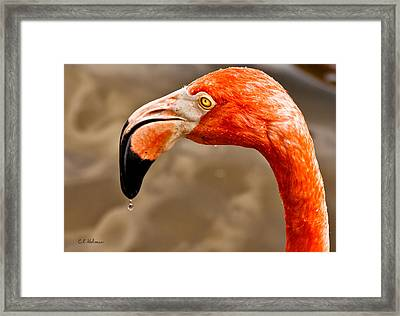 Dripping Flamingo Framed Print by Christopher Holmes