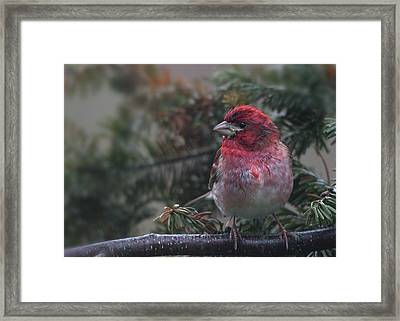 Drizzled Finch Framed Print