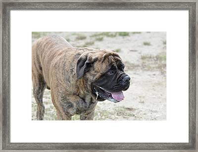 Drooling Bullmastiff Dog Framed Print