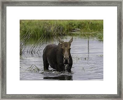 Drooling Cow Moose Framed Print by Elizabeth Eldridge