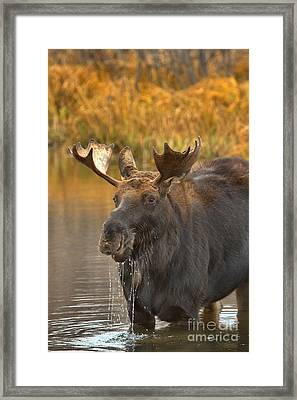 Drooling In The Teton Lunchroom Framed Print