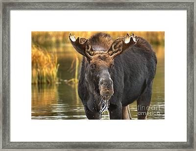 Drooling Moose Framed Print by Adam Jewell
