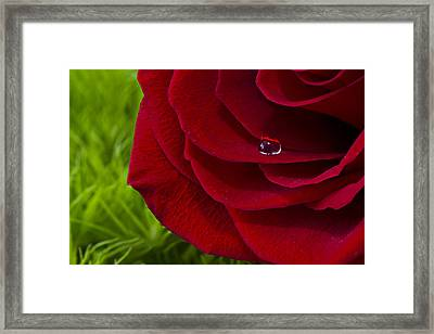 Drop On A Rose Framed Print by Marlo Horne