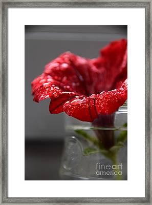 Drops On A Red Spring Flower Framed Print
