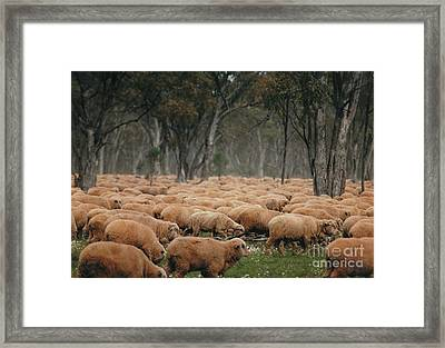 Droving Sheep  At Albert Australia Framed Print