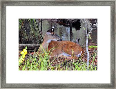 Framed Print featuring the photograph Drowsy Deer by Al Powell Photography USA