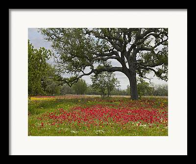 Phlox Photographs Framed Prints