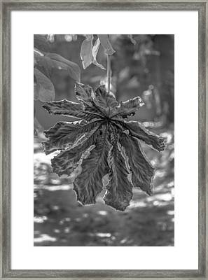 Dry Leaf Collection Bnw Framed Print
