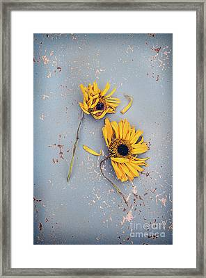 Framed Print featuring the photograph Dry Sunflowers On Blue by Jill Battaglia