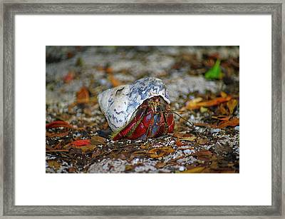 Dry Tortuga Hermit Crab Framed Print