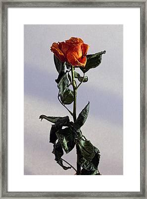 Drying Rose Framed Print by Robert Ullmann