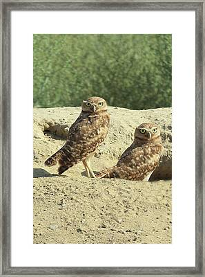 Dual Burrowing Owls, Athene Cunicularia Framed Print by Renee Sinatra