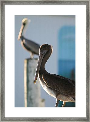 Dual Pelicans Framed Print by Mary Haber