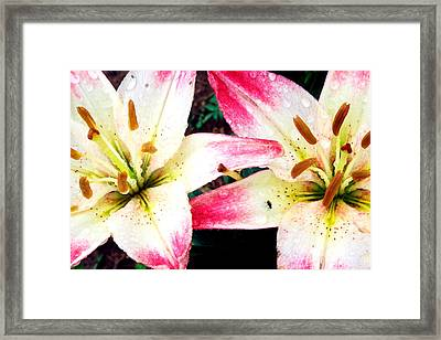 Dual Pinks II Framed Print by Amanda Kiplinger