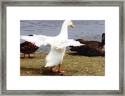 Duck Dancing Framed Print by Renee Cain-Rojo