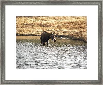 Ducks - Moose Rollinsville Co Framed Print