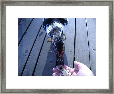 Duck Eating From My Hand Framed Print