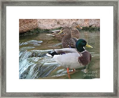 Duck Fall Framed Print