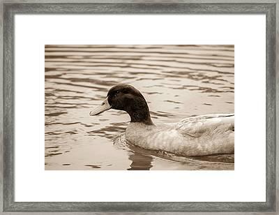 Duck In Pond Framed Print