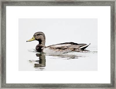 Framed Print featuring the photograph Duck by John Hix