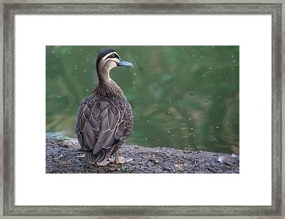 Duck Look Framed Print
