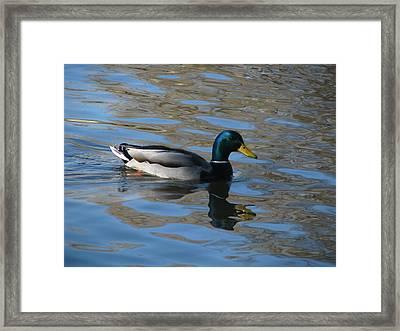 Duck Mallard Duck Framed Print by Hasani Blue