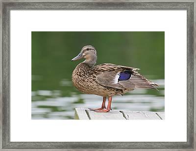 Duck Framed Print