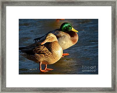 Duck Pair Sunbathing On Frozen Lake Framed Print