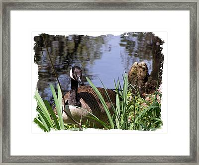 Duck Framed Print by Ralph  Perdomo