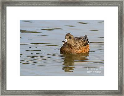 Duck Series - Eurasain Wigeon Framed Print by Beve Brown-Clark Photography