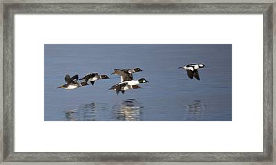 Duckin Out Framed Print