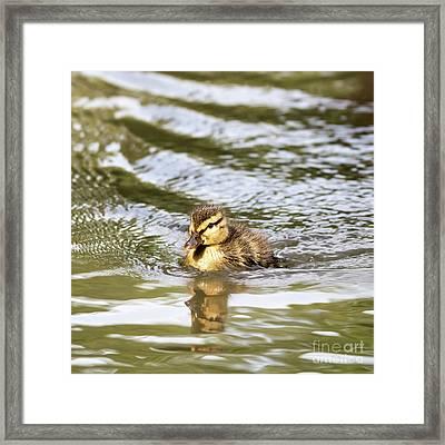 Duckling Paddling In The Sunshine Framed Print