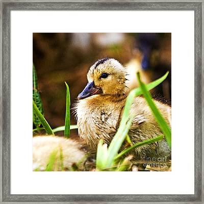 Duckling Framed Print by Scott Pellegrin