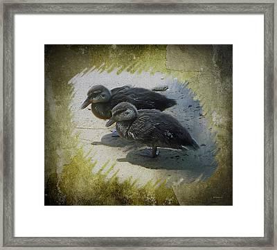 Duckling Siblings Framed Print