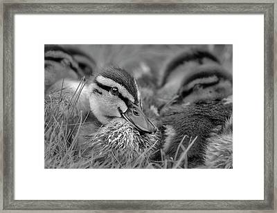 Framed Print featuring the photograph Ducklings Cuddling Bw by Susan Candelario