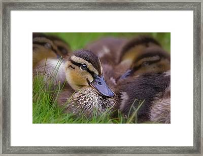 Framed Print featuring the photograph Ducklings Cuddling by Susan Candelario