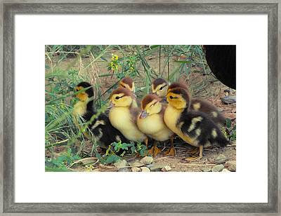 Ducklings Framed Print
