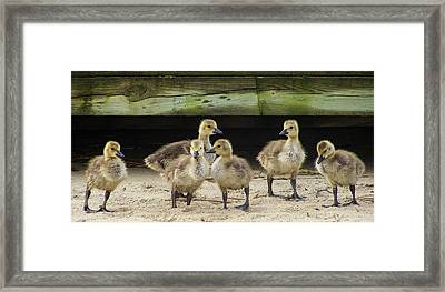 Ducklings Lost Framed Print by Tim Bond
