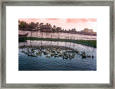 Ducks At Backwaters Around Alleppey, Kerala, India Framed Print