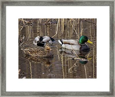Framed Print featuring the photograph Ducks At Bombay Hook by Robert Pilkington