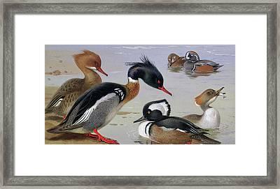 Ducks By A Lake Framed Print by Archibald Thorburn